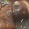орангутанг и его дочка