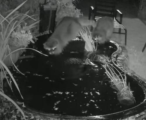 еноты в декоративном пруду