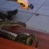 змея подавилась щипцами
