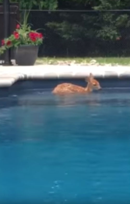 олень купается в бассейне