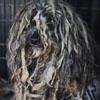 собака обросла дредами