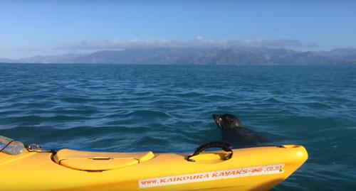 тюлень напал на осьминога