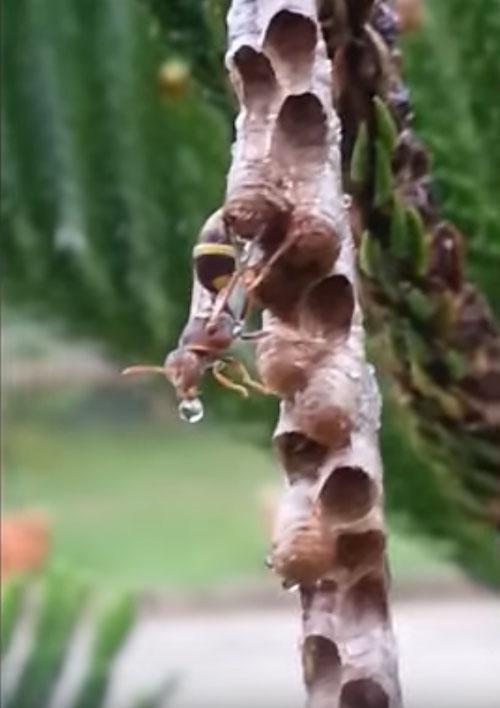 осы высушили своё гнездо