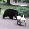 собака отпугнула медведя