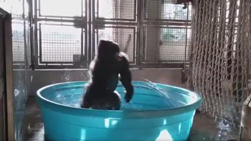 горилла танцует в ванне