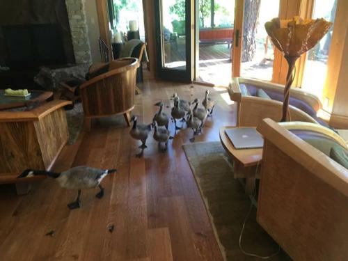 гуси прошлись по дому