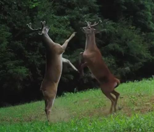 странная драка оленей