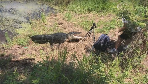 аллигатор напал на фотографа
