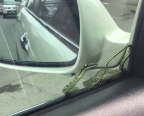 змея прокатилась на машине