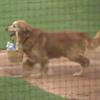 пёс на бейсболе подаёт воду