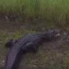 аллигатору помогли переехать