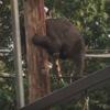 медведь на электрическом столбе