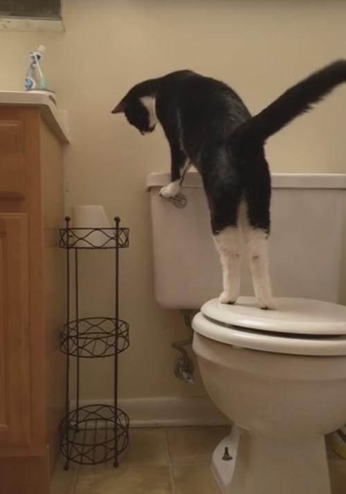 кошка играет с унитазом