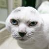 кот без ушей