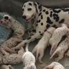 собака родила 18 щенков