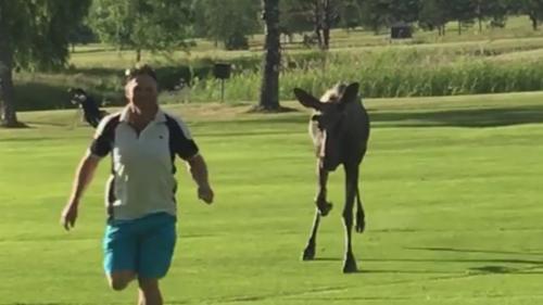 лось погнался за гольфистом