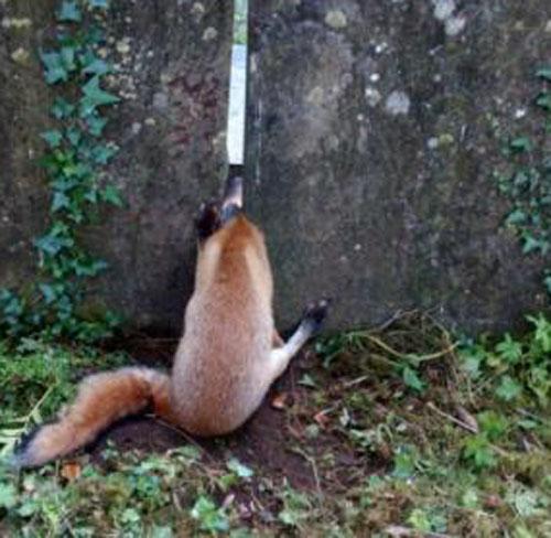 лиса застряла на кладбище