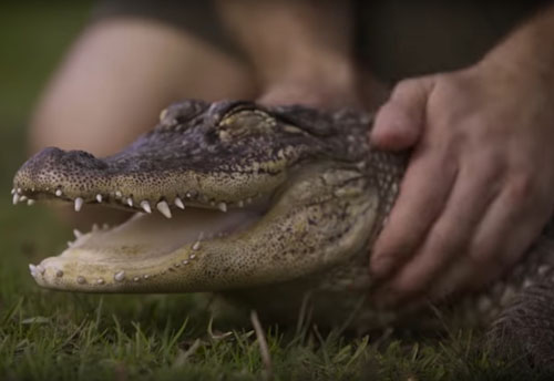 аллигатор любит ласку