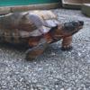 редкая черепаха на улице