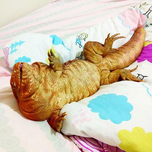 ящерица размером с собаку