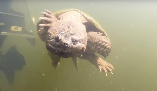 черепахе понравился дайвер