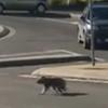 коала перешла дорогу