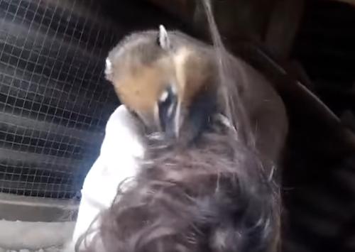 носуха играет с волосами