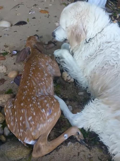 собака спасла оленёнка