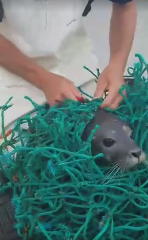 тюленя освободили из сети