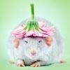 милые фотографии крыс