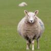 самый скучный фильм с овцами