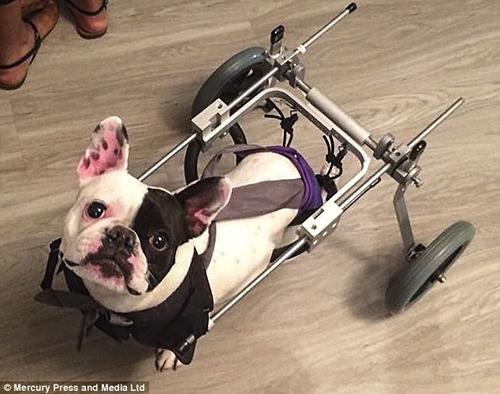 бульдог-инвалид получил коляску