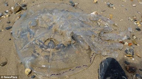 необычайно крупная медуза