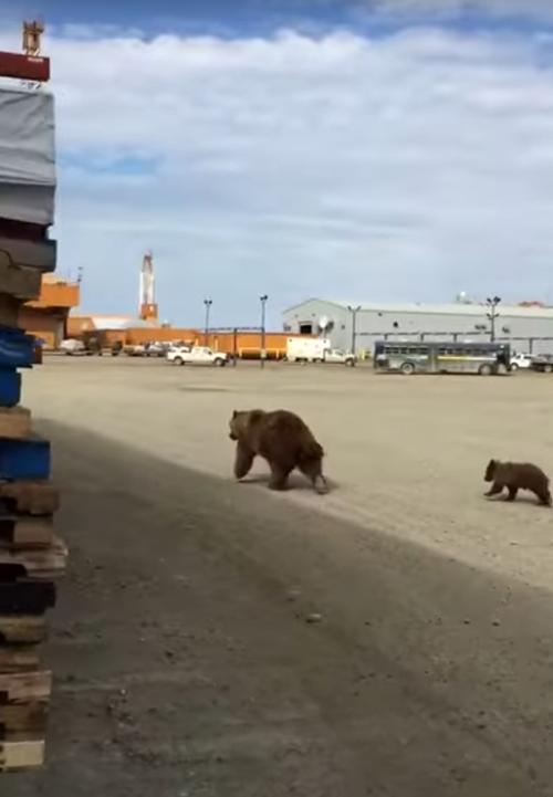 медведей прогнали со склада