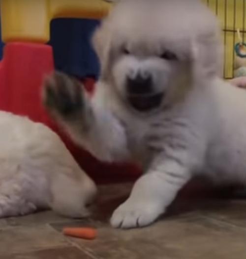 щенок разгневался на морковку