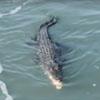 крокодил поймал акулу