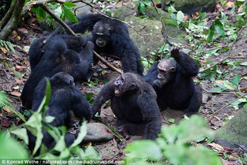 шимпанзе свергли альфа-самца
