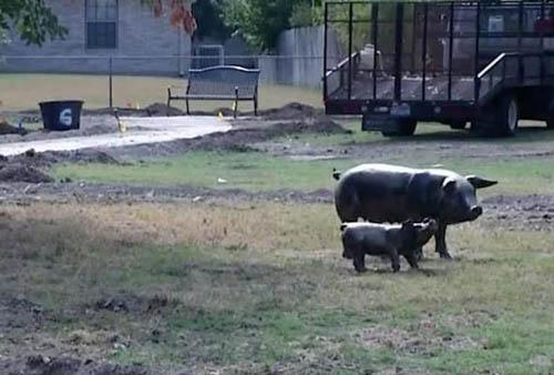 бронзовую свинью украли