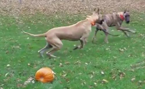 собаки не поделили тыкву