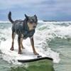 чемпионат по серфингу для собак