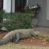 аллигатор пришёл в гости