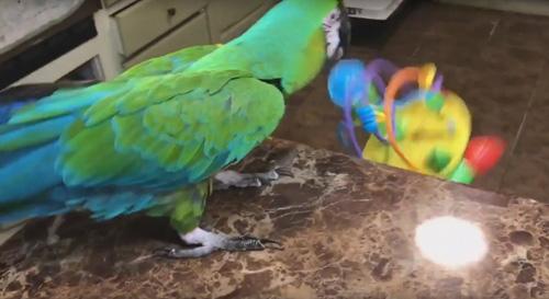 попугай расправился с игрушкой