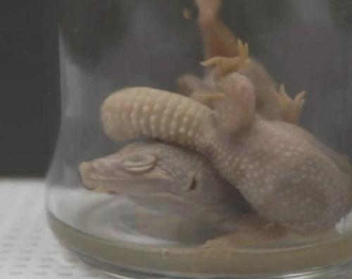 мёртвые гекконы в пиве
