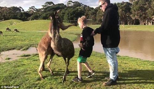 кенгуру ударил мальчика по лицу