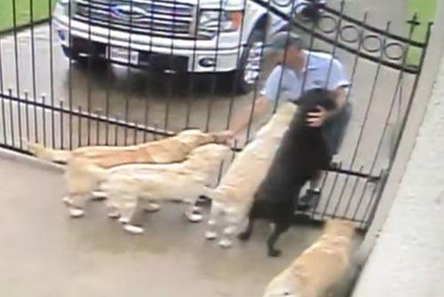 собаки подружились с почтальоном