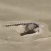 крокодил на затопленной дороге