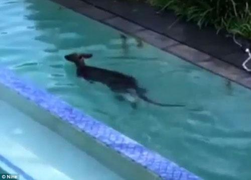 кенгуру чуть не утонул в бассейне