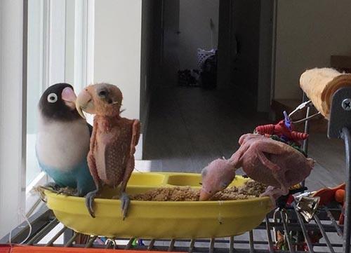попугаи без перьев обрели счастье