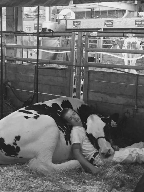 мальчик и корова заснули бок о бок