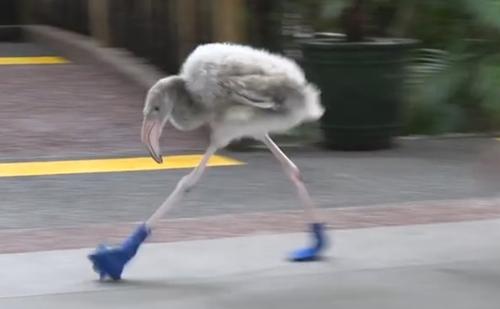птенец фламинго в ботиночках